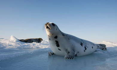 Young harp seals in the North Atlantic at risk from melting sea ice - The Guardian | Global warming | Scoop.it