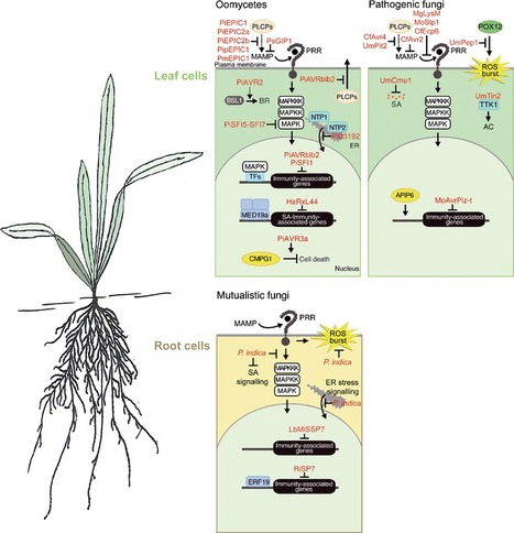Reprogramming of plant cells by filamentous plant-colonizing microbes - Doehlemann - 2014 - New Phytologist - Wiley Online Library | Redox signalling and Plant Symbioses | Scoop.it