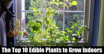 The Organic Approach: The Top 10 Edible Plants to Grow Indoors | Tilapia et jardin | Scoop.it