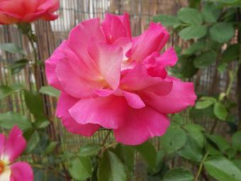 25mq-di-verde: Finalmente le rose! | About gardening | Scoop.it