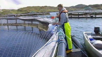 Farmed salmon production hits highest level since 2004 with value of £584m | Business Scotland | Scoop.it
