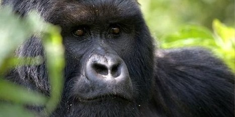 Uganda, Gorilla permit promotion – 2015 | Uganda News Travel Adventure | Scoop.it