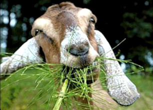 Weed Eating Goats Used to Reduce Risk of California Wildfires | EcoWatch | Scoop.it
