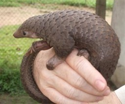 Protected pangolins seized from Philippine boat: official | Sustain Our Earth | Scoop.it