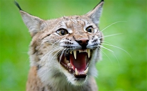 'Bring back lynx to Scottish countryside' | Δασαρχείο - dasarxeio.com | Scoop.it