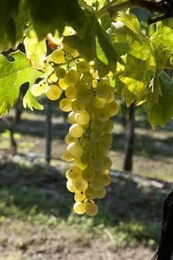 Enologi ottimisti, vendemmia 2013 si delinea ottima - - ANSA.it | Italian Wine - Dal Maso Winery | Scoop.it