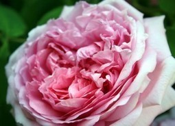 How to Turn Rose Petals Into Perfume | Beauty and Health | Scoop.it