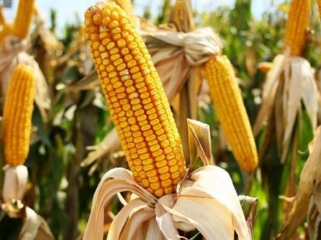 Pakistan: Monsanto sows genetically modified corn | MAIZE | Scoop.it