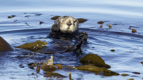 Comeback of the century: The California sea otter's return from the brink of extinction | Lorraine's Environmental Change &  Management | Scoop.it