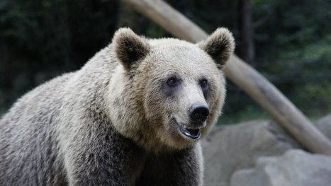 Faut-il réintroduire des ours femelles dans les Pyrénées | Biodiversité & Relations Homme - Nature - Environnement : Un Scoop.it du Muséum de Toulouse | Scoop.it