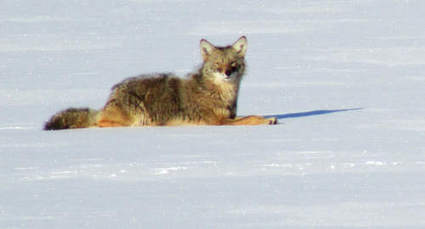Coyote attacks two Glencoe dogs - Glencoe News   aspect 3: problems if management didn't exist   Scoop.it