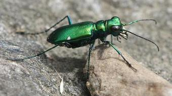 Nature Notes: Spot tiger beetles on Westborough trails - www.wickedlocal.com/westborough | Wildlife In The United States and Canada | Scoop.it