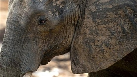 Researchers: #Elephants can tell the difference between human languages #intelligent | Limitless learning Universe | Scoop.it
