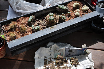Growing peyote (and other cacti) on the balcony | The Lophophora Blog | Scoop.it