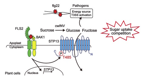 Science: Regulation of sugar transporter activity for antibacterial defense in Arabidopsis (2016) | Microbiome and plant immunity | Scoop.it