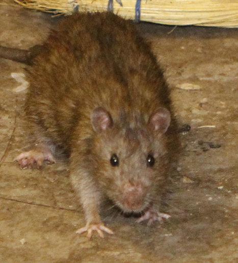 Les rats du métro de New York font l'objet d'un concours photo | Mais n'importe quoi ! | Scoop.it