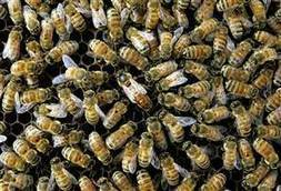 Pesticide may actually give honeybee virus an advantage | YOUR FOOD, YOUR ENVIRONMENT, YOUR HEALTH: #Biotech #GMOs #Pesticides #Chemicals #FactoryFarms #CAFOs #BigFood | Scoop.it