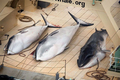 #Japanese #Whale hunt stopped, for now | Sustain Our Earth | Scoop.it