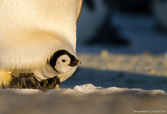 Faucon adélie: Naissances à DDU #Antarctique #manchot empereur #TAAF #IPEV | Arctique et Antarctique | Scoop.it