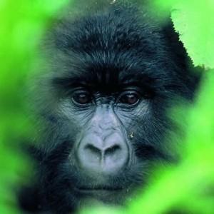 Blog post - Oil, Gas, and Energy Scrapbook: Uganda tips Tullow's half-year balance sheet but tax remains anissue   Gorilla Trekking   Scoop.it