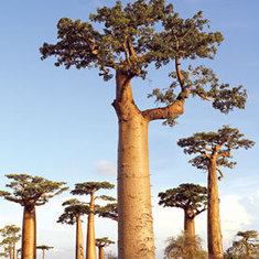 Climate Change Threatens Madagascar's Towering Baobab Trees: Scientific American   Sustain Our Earth   Scoop.it