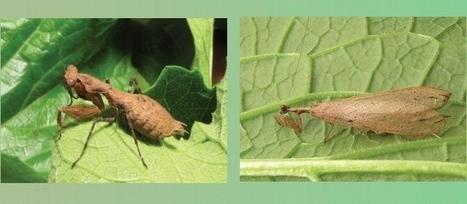 Nueva especie de mantis religiosa | Era del conocimiento | Scoop.it