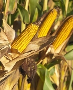 Zambia bans maize exports to Zimbabwe | MAIZE | Scoop.it