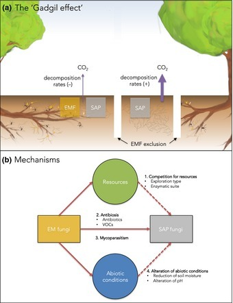 Revisiting the 'Gadgil effect': do interguild fungal interactions control carbon cycling in forest soils? | MycorWeb Plant-Microbe Interactions | Scoop.it