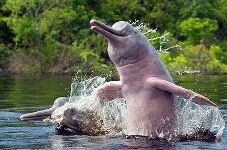 El delfín rosado del Amazonas, un delfín de agua dulce | Infraestructura Sostenible | Scoop.it