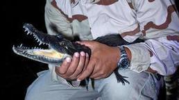 Tagging crocodiles in Belize | Belize in Social Media | Scoop.it