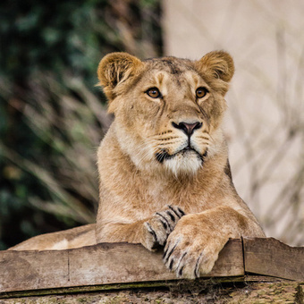Did you know there are less than 300 Asian Lions left in the wild? | Cats Rule the World | Scoop.it