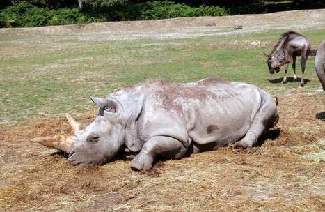 Les cornes de rhinocéros, un trésor convoité par les trafiquants | Biodiversité | Scoop.it
