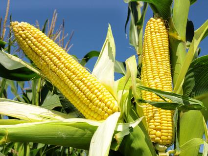 Despite Majority Opposition, GMO Corn Gets Green Light in Europe | Sustainability Science | Scoop.it
