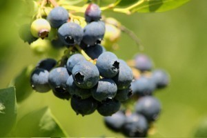 Beyond Organic: Nutrient-Dense Blueberries from Heaven - Organic Connections   Searching for Safe Foods   Scoop.it