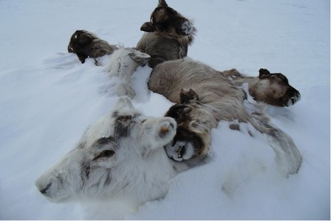 Almost 100,000 Reindeer Starved to Death in Arctic Circle | All about water, the oceans, environmental issues | Scoop.it