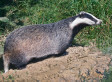 Badger Cull Facts And Figures | Leading for Nature | Scoop.it