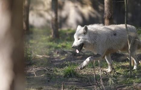 Lozère: Les portes du parc fracturées, les loups s'échappent dans la nature   Territoires durables   Scoop.it