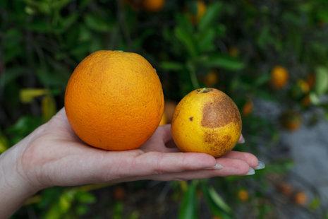L'orange se meurt, ses cousins aussi ! | EntomoScience | Scoop.it