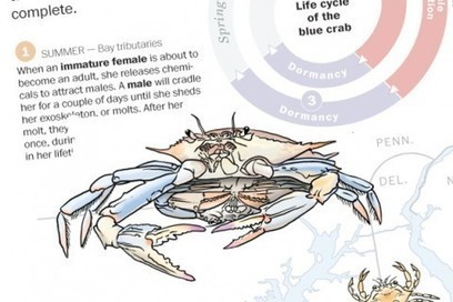 Crabbing the truth: McAuliffe, Hogan spar over blue crab origins | STEM Connections | Scoop.it
