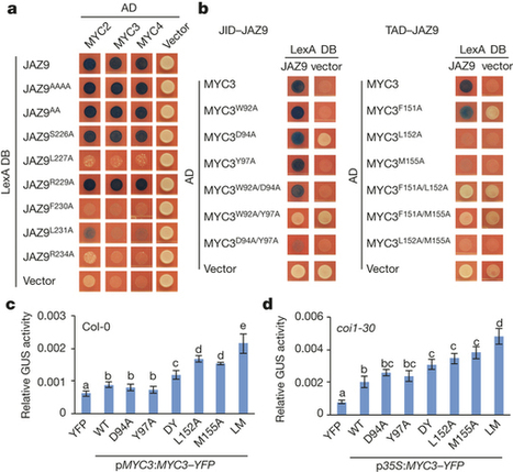 Nature: Structural basis of JAZ repression of MYC transcription factors in jasmonate signalling (2015) | Plants and Microbes | Scoop.it