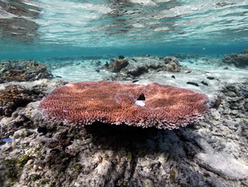 Coral Fights Back Against Warming Seas | Earth Island Institute Philippines | Scoop.it