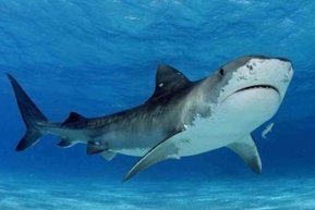 621 sharks killed off Queensland coast | All about water, the oceans, environmental issues | Scoop.it