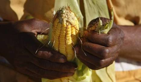 SA's genetically modified maize: Here's what you should know about it | MAIZE | Scoop.it