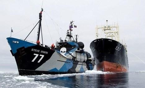 Chasse à la baleine: «Les eaux vierges de l'océan Austral sont de nouveau menacées par les braconniers criminels» | Chasse, Braconnage et Droits des Animaux | Scoop.it