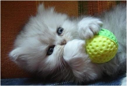 Cara Menjinakan Kucing Persia - Cat Clothing in Indonesia | Baju Kucing Anggora Persia dan Anak Kucing | Scoop.it