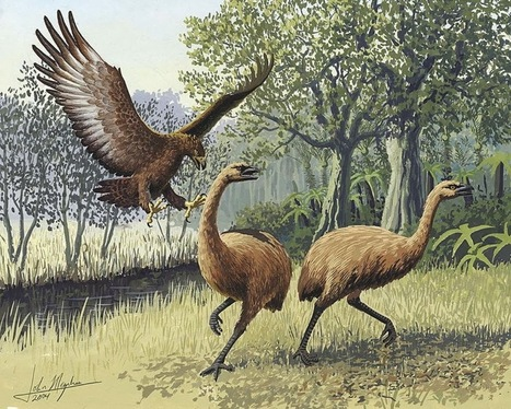 Extinct 'robust' birds of New Zealand might not have been so robust after all | some anthropology + found in translation | Scoop.it