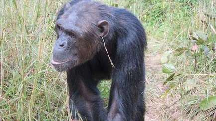 The interaction between culture and nature in behaviour of chimpanzees | Anthropology, communication & technology | Scoop.it