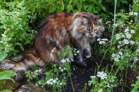 Piante velenose e tossiche per i gatti. Elenco completo e consigli | AmicoMaineCoon.it | Scoop.it