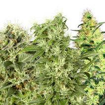 Semillas de Marihuana Feminizadas | Semillas de Marihuana | Scoop.it