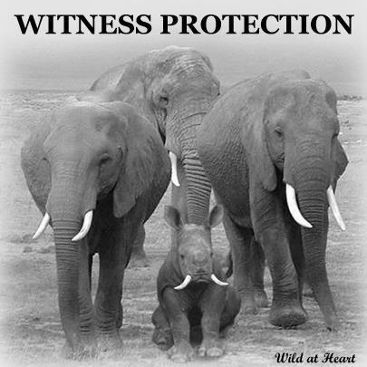 IMAGE: Witness Protection for the Rhino | What's Happening to Africa's Rhino? | Scoop.it